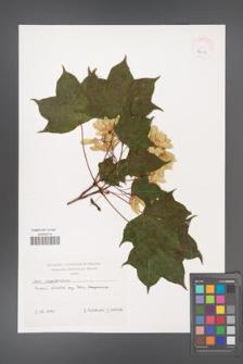 Acer cappadocicum [KOR 38087]