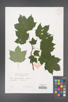 Acer cappadocicum [KOR 38060]