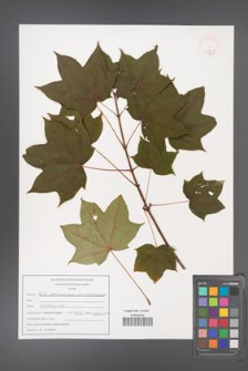 Acer cappadocicum [KOR 47525]