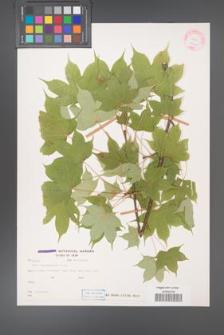 Acer cappadocicum [KOR 27771]