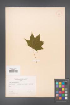Acer cappadocicum [KOR 11247]