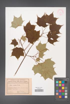 Acer cappadocicum [KOR 11248]