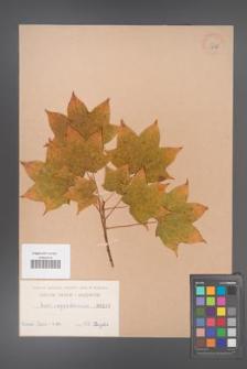 Acer cappadocicum [KOR 115]