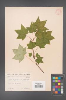 Acer cappadocicum [KOR 116]