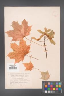 Acer platanoides [KOR 11414]