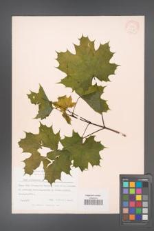 Acer platanoides [KOR 11417]
