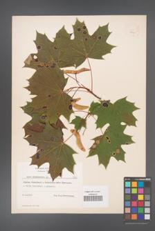 Acer platanoides [KOR 7960]