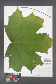 Acer platanoides [KOR 46894]