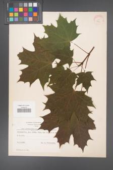 Acer platanoides [KOR 7772]