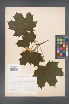 Acer platanoides [KOR 7773]