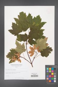 Acer glabrum [KOR 49254]
