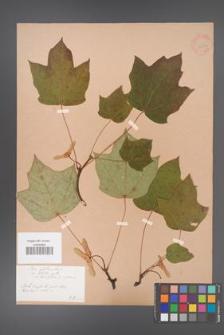 Acer platanoides [KOR 33571]