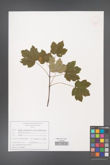 Acer hyrcanum [KOR 47589]