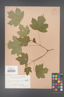Acer hyrcanum [KOR 167]