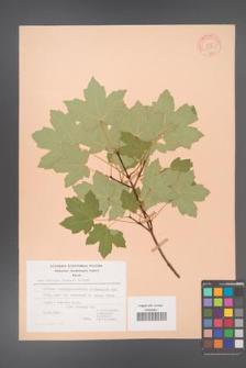 Acer hyrcanum [KOR 20831]