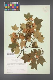 Acer hyrcanum [KOR 11352]