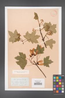 Acer hyrcanum [KOR 11340]