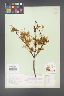 Acer hyrcanum [KOR 11337]