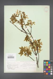Acer hyrcanum [KOR 11350]