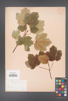 Acer ×coriaceum [KOR 33393]