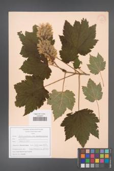 Acer caudatum [KOR 47527]