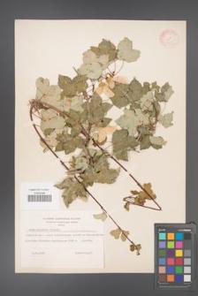 Acer pentaponicum [KOR 11423]