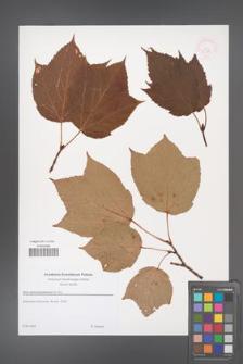 Acer pennsylvanicum [KOR 52941]