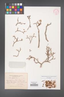 Acer pentaponicum [KOR 11425]