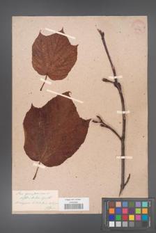 Acer pennsylvanicum [KOR 33546]