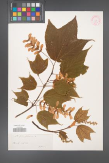 Acer pennsylvanicum [KOR 188b]