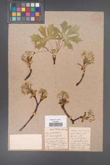 Acer platanoides [KOR 33560]