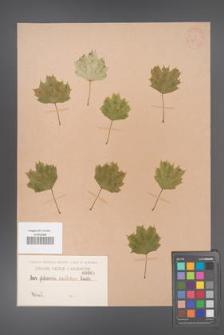 Acer platanoides [KOR 65]