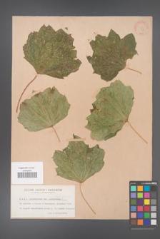 Acer platanoides [KOR 63]