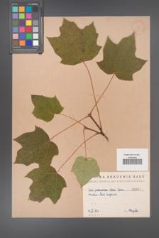 Acer platanoides [KOR 57]