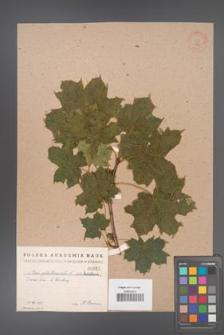 Acer platanoides [KOR 52]