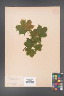 Acer platanoides [KOR 33557]