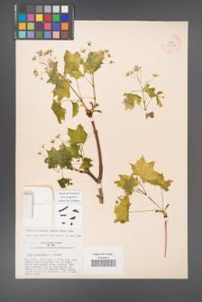 Acer platanoides [KOR 33555]