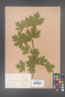 Acer campestre [KOR 143]