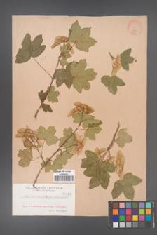 Acer campestre [KOR 141]
