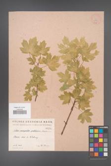 Acer campestre [KOR 139]