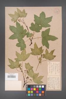 Acer campestre [KOR 33368]