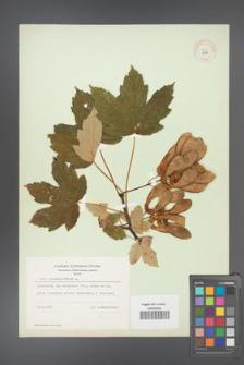 Acer pseudoplatanus [KOR 8987]