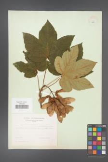 Acer pseudoplatanus [KOR 8981]