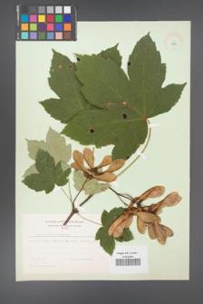 Acer pseudoplatanus [KOR 8979]