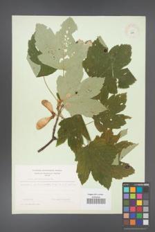 Acer pseudoplatanus [KOR 8972]
