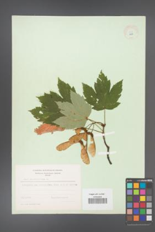 Acer pseudoplatanus [KOR 8973]
