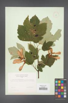 Acer pseudoplatanus [KOR 8969]