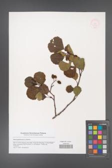 Alnus glutinosa [KOR 48792]