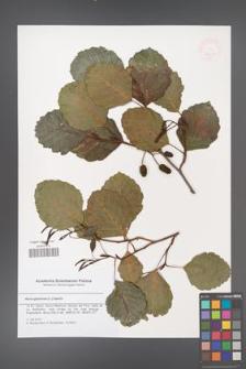Alnus glutinosa [KOR 47819]