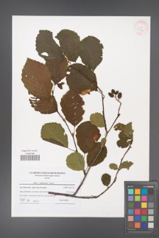 Alnus ×pubescens [KOR 41969]